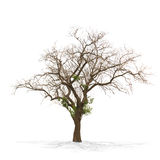 Dry dead tree isolated on white Royalty Free Stock Image