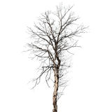 Dry dead tree isolated on white Stock Photos