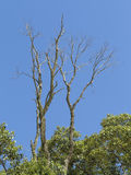Dry dead tree in the middle of the green leaves with blue sky background Royalty Free Stock Photography