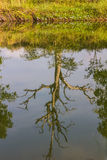 Dry dead trees, water reflections. Royalty Free Stock Image