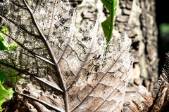 Dry decay brown leaf Royalty Free Stock Images