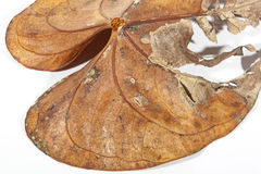 Dry and Decaying Anthirium Leaf in Autumn Colors Royalty Free Stock Images