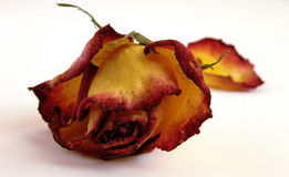 Dry Decaying Rose. Dry red and yellow decaying rose on a white background with an out of focus fallen petal Stock Images