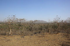 Dry deciduous forest. Deciduous trees in the forest of sasan gir gujarat india in the dry season stock photo