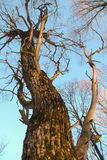 Dry deciduous tree. Mossy dry deciduous tree bark with knots on the background of sky Stock Photos