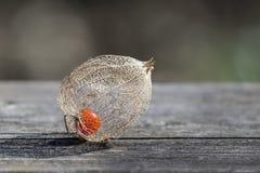 Dry decorative physalis berry Stock Photo