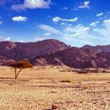 Dry desert tree and beduin village sinai egypt. Dry desert tree and beduin village sinai peninsula egypt royalty free stock images