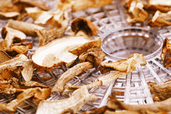 Dry dried mushrooms on food dehydrator tray Stock Images