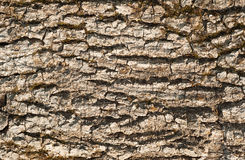 Dry driftwood bark texture Royalty Free Stock Images