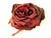 Dry dust covered red rose. Dry and dusty red rose on a white background Stock Images