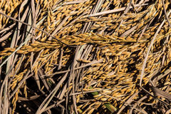 Dry ear of rice and dry leaf Royalty Free Stock Images