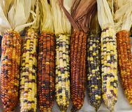 Corn on display for judging at the county fair. Dry ears of colorful corn on display for judging at the Walworth County Fair in Elkhorn, WI stock photography