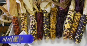 Corn on display for judging at the county fair. Dry ears of colorful corn on display for judging at the Walworth County Fair in Elkhorn, WI stock photo