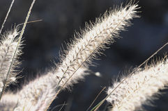 Dry Ears Grass. Some Dry Ears Grass in Backlight at Sunset Stock Photography