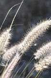 Dry Ears Grass. Some Dry Ears Grass in Backlight at Sunset Stock Image
