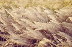 Dry ears of rye Royalty Free Stock Photos