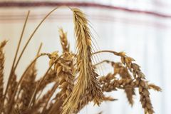 Dry ears of wheat in a flowerpot on the table close up. Copy space royalty free stock images