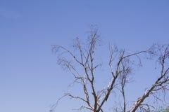 Dry eucalipthus branches Stock Photos