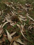 Dry eucalyptus leaves. Autumn leaves over green grass royalty free stock images