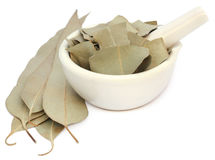 Dry Eucalyptus leaves Royalty Free Stock Photo