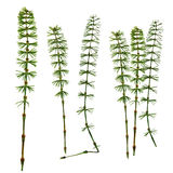 Dry fall green leaf equisetum isolated pressed leaves on white b Royalty Free Stock Image