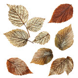 Dry fall leaf of raspberry, elements raspberry leaves lay out on. Cardboard with a place for accommodation on background for scrapbook, object, roughage autumn Royalty Free Stock Images