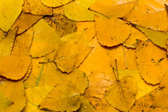 Dry fall leafs background Stock Photo