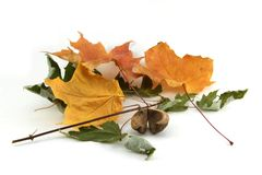 Dry fall leaves Royalty Free Stock Image