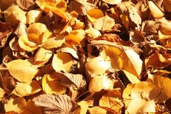 Dry fallen autumn leaves on sunny day. As background royalty free stock photos