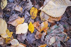 Dry fallen colorful leaves of autumn forest, top view. Dry fallen colorful leaves of autumn yellow forest, top view stock photography