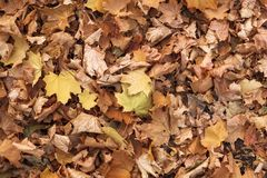 Dry fallen leaves. Autumn texture royalty free stock photography