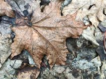 Dry fallen leaves on the ground Royalty Free Stock Photo