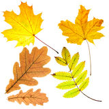 Dry fallen leaves Royalty Free Stock Photos