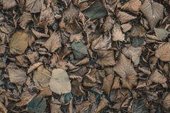 Dry, fallen leaves lie on the ground in the autumn Stock Photo