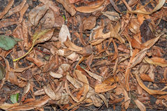 Dry fallen leaves of linden lie on the ground Stock Photos