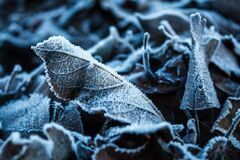 The dry fallen leaves of the trees are covered with frost