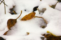 Dry fallen leaves under snow Stock Photography
