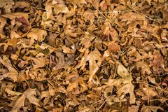 Fallen maple leaves. Dry fallen maple leaves background stock images