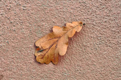 Dry Fallen Oak Leaf on Concrete Stock Photos
