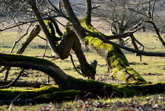 Dry fallen old tree covered with moss Royalty Free Stock Photo