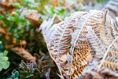 Dry fern leaves are covered with morning frost. Beauty in nature stock image