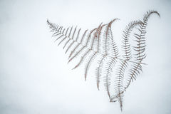 Dry fern on snow Stock Photo