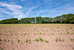 Dry field and blue sky. Small plants on dry soil stock photo