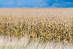 Dry field of corn stalks on dark cloudy sky Royalty Free Stock Photos