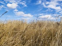 Dry field plants against a deep blue sky with natural heart-shaped clouds Stock Image