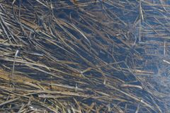 Grass with ooze. Dry field grass under running melt water, covered with ooze and slime stock image