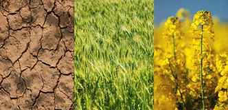 Dry field, green wheat and yellow rape flower Stock Photos