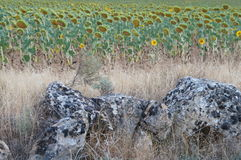 Dry field in Spanish village, sunflowers and stones Royalty Free Stock Images