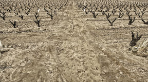 Dry field vines Stock Photography