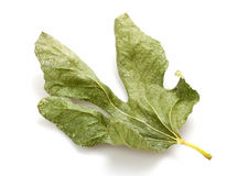 Dry fig leaf Royalty Free Stock Photos